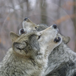 In New York: Wolf Watch Experience for Two | Excitations :  animal gift dad fathers day
